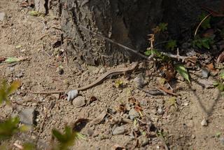 カナヘビ.jpg